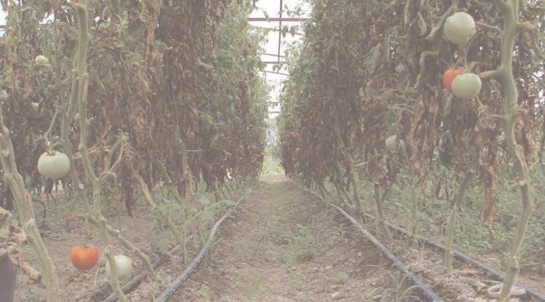 Producătorii agricoli dâmboviţeni nu se arată interesaţi de Programul de sprijin pentru tomate