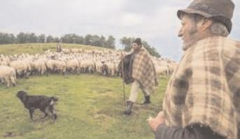 Ciobanii pot valorifica lâna în 20 centre de colectare
