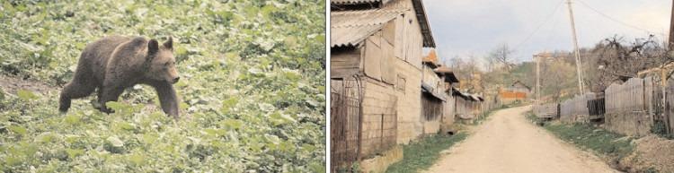 O ursoaică terorizează localnicii din satul Meişoare, comuna Pucheni