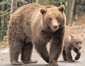 Urșii vor fi inventariaţi cu fonduri europene
