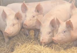 Reguli şi obligaţii pe care fermierii trebuie să le respecte pentru prevenirea răspândirii pestei porcine