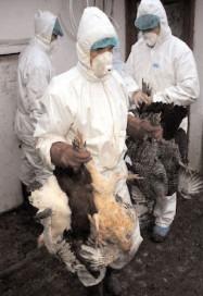 ANSVSA a interzis comerţul cu păsări vii timp de 30 de zile, din cauza gripei aviare