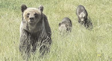Jandarmii şi poliţiştii sunt în dispozitiv şi întreprind măsuri şi acţiuni urgente necesar pentru îndepărtarea ursului din satul Meişoare, comuna Pucheni