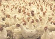 Respectarea măsurilor pentru prevenirea răspândirii gripei aviare – premisele reducerii perioadei de restricţii