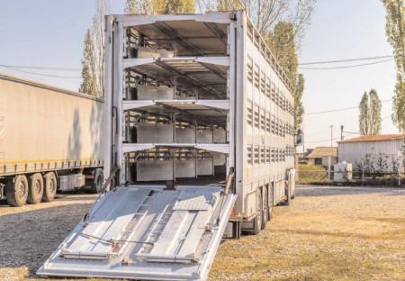 Autoritatea Națională Sanitară Veterinară și pentru Siguranța Alimentelor suspendă temporar transporturile de animale de lungă durată pe perioada caniculei