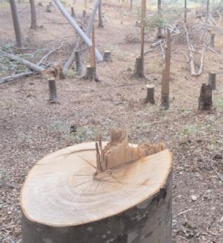 Au început furturile de lemne